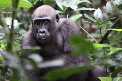 Ein Gorilla im Dzanga-Sangha-Nationalpark